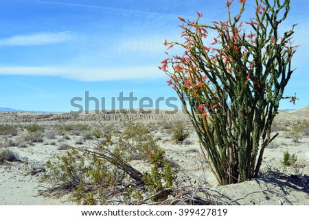Ocotillo shrub in bloom near the Salton Sea, California. - stock photo