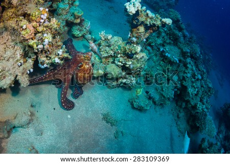 Octopus at the bottom of the Red Sea. - stock photo