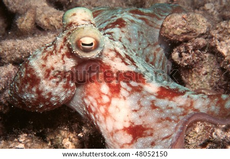 Octopus from a night dive in the Grand Cayman Island
