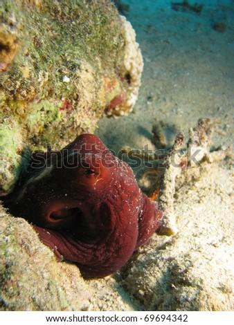 Octopus hiding away between rocks - stock photo