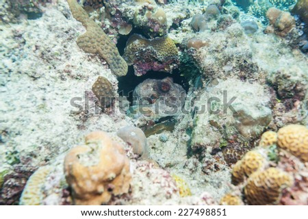 octopus hiding in the reef - stock photo