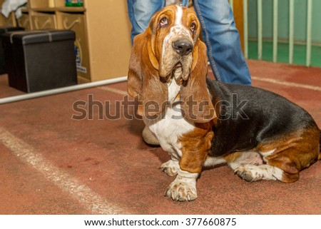 ODESSA, UKRAINE - September 20, 2015: International Dog Show according to FCI-CACIB. People and dogs on dog contest. Purebred dogs are fighting for victory in competition breeds. Dog-breeding Club