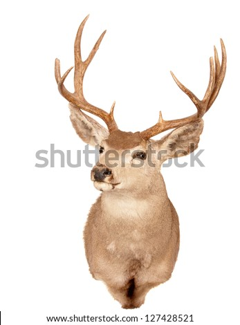 Odocoilus Hemionus, (Mule Deer) taxidermy mount isolated on white - stock photo