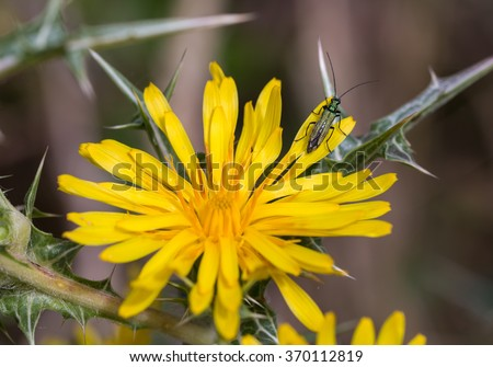Oedemera nobilis. Beetle photographed in their natural environment.