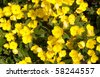 Oenothera, evening primrose - stock photo
