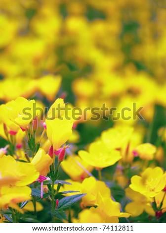 Oenothera glazioviana - stock photo