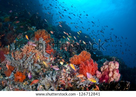 Off North Sulawesi, Indonesia, a plethora of small, colorful fish (Pseudanthias sp.) swim in a current passing over a coral reef.  The fish are catching tiny zooplankton that ride the ocean current. - stock photo
