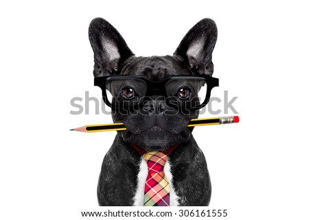 office businessman french bulldog dog with pen or pencil in mouth   isolated on white background - stock photo