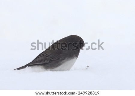 Often referred to a s snowbird, the common junco eyes a seed atop the snow - stock photo