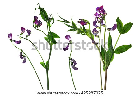 oil draw dry sweet pea flower set of blue flowers and fresh green leaf close-up early in the spring, isolated  white background elements  scrapbook, object, pressed, border, edging, paint illustration - stock photo