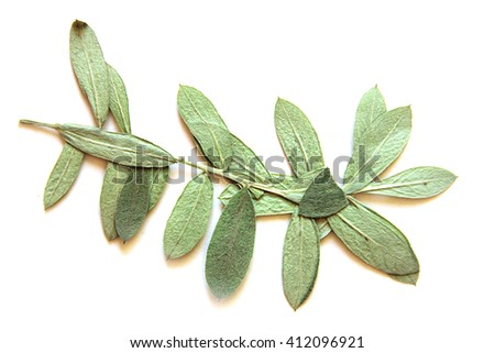 oil paint dry fall leaf of furry plush grass isolated leaves on white background for scrapbook, draw object, roughage autumn leaf