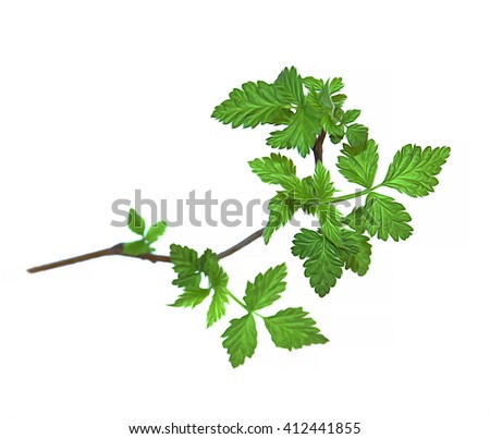 oil paint young green twig raspberry bush isolated leaves on white background for scrapbook, draw object, roughage autumn leaf