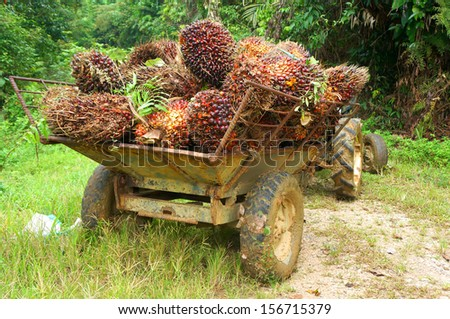 Oil palm - stock photo