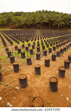 Oil Palm Farm in Indonesia, North Sumatra. Newly Planted Palm trees! - stock photo