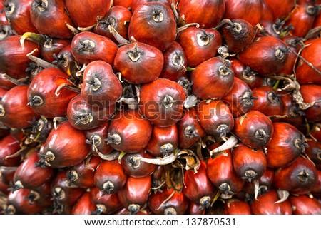 Oil Palm Fruit - stock photo