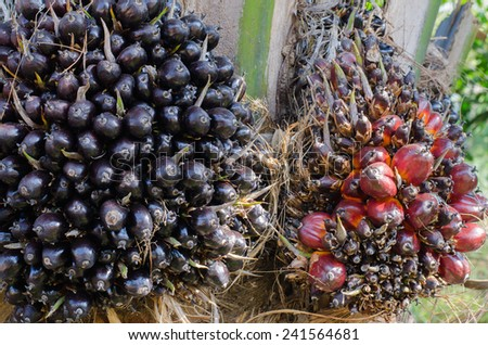 oil palm harvest on tree background - stock photo