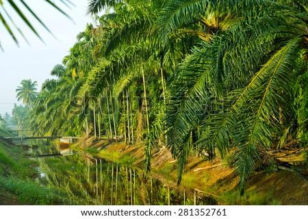 Oil Palm Plantation  - stock photo