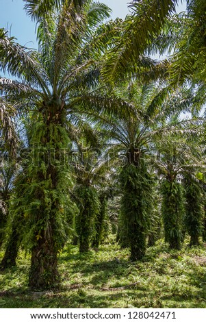 Oil palm plantation in eastern Madagascar