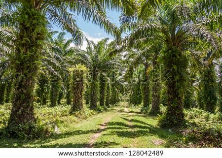 Oil palm plantation in eastern Madagascar - stock photo