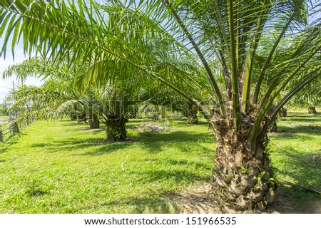 oil palm plantations growing up - stock photo