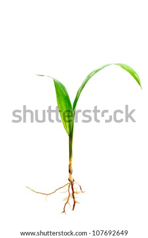 oil palm sprout with root isolated on white background, studio shot - stock photo