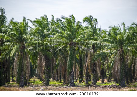 Oil palm tree in the field