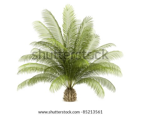 oil palm tree isolated on white background - stock photo