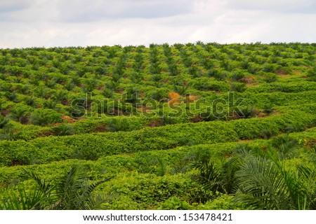 Oil palm tree plantation field - stock photo