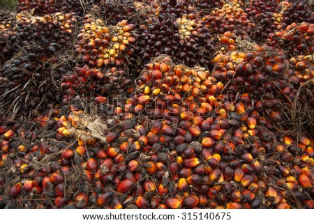 oil palm yields before being transported - stock photo