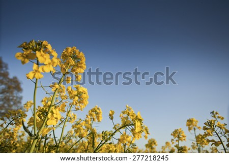 Oil seed rape crop ready for harvesting - stock photo