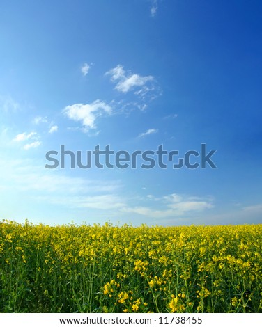 Oilseed rapeseed field during sunny spring day