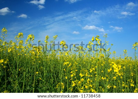 Oilseed rapeseed field during sunny spring day - stock photo