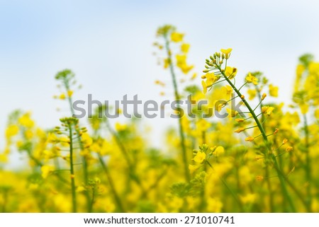 Oilseed Rapeseed Flower Close up in Cultivated Agricultural Field, Selective Focus with Shallow Depth of Field, Crop Protection Agrotech Concept - stock photo