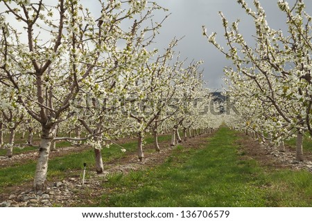 Okanagan Cherry Orchard Blossoms, British Columbia. A cherry orchard full of blossoms in spring. Okanagan, British Columbia, Canada. - stock photo