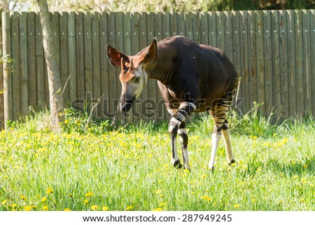 Okapi - stock photo