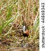 Okavango delta, Botswana, African Jacana, walking in shallow water,  Actophilornis africanus - stock photo