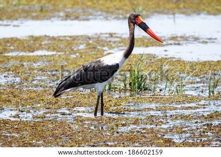 Okavango Delta - Moremi National Park in Botswana - stock photo