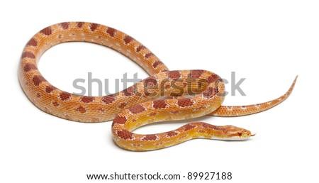 Okeetee albinos Corn Snake, Red Rat Snake,  Pantherophis guttatus, in front of white background - stock photo