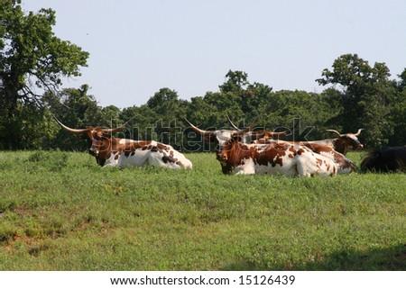 Oklahoma Longhorns - stock photo
