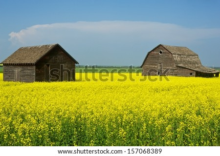 Old abandoned barns in canola field - stock photo