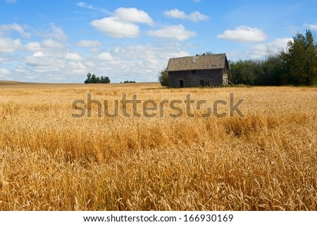 old abandoned house in a field of ripe wheat  - stock photo
