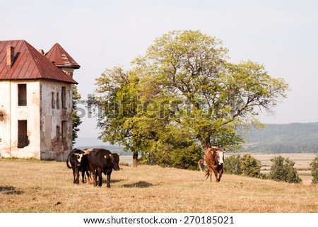 Old, abandoned, ruined house in the field with cows - stock photo