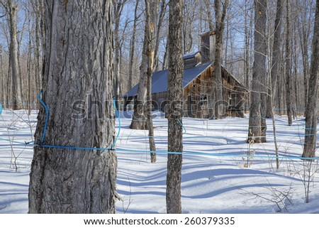 Old Abandoned sugar shack in a maple bush  - stock photo