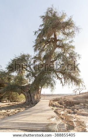 Old Acacia tree Negev Desert  - stock photo