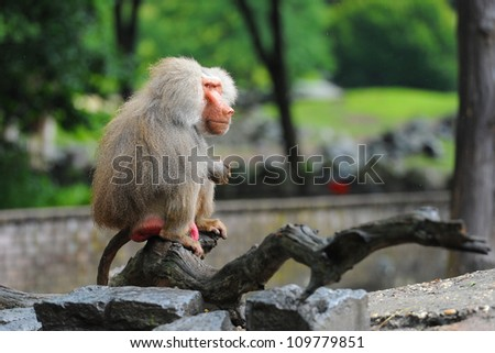 Old adult baboon