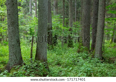 Old alder and spruce trees of  Bialowieza Forest in summer  - stock photo
