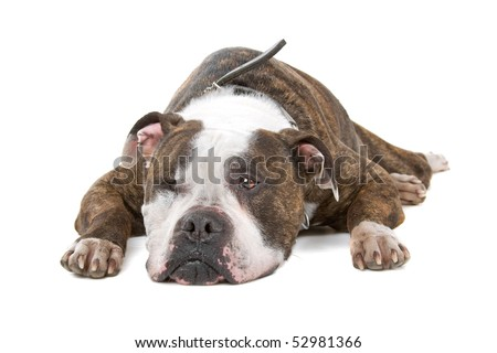 old American bulldog with one eye, isolated on a white background