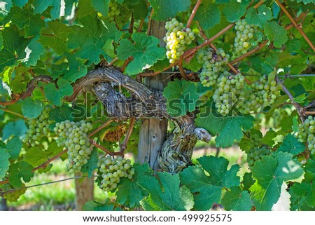 Old ancient trunk of the vine with the young green grapes