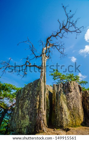 old and ancient dry tree on top of mountain - stock photo