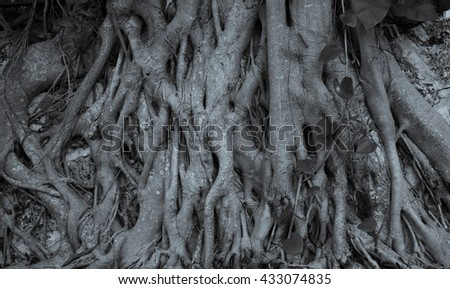 Old and big tree roots closeup. Miami, Usa, Florida, Key Biscayne. USA  - stock photo